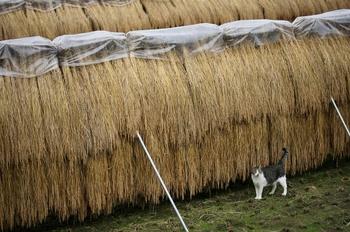 稲と猫.jpg